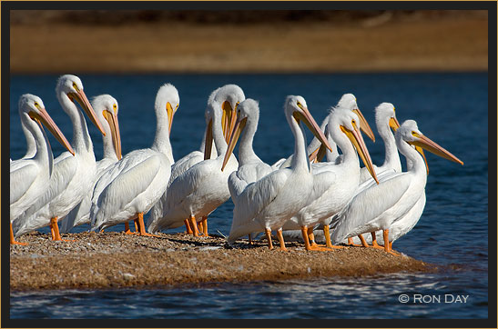 American White Pelicans Preening On Shoreline